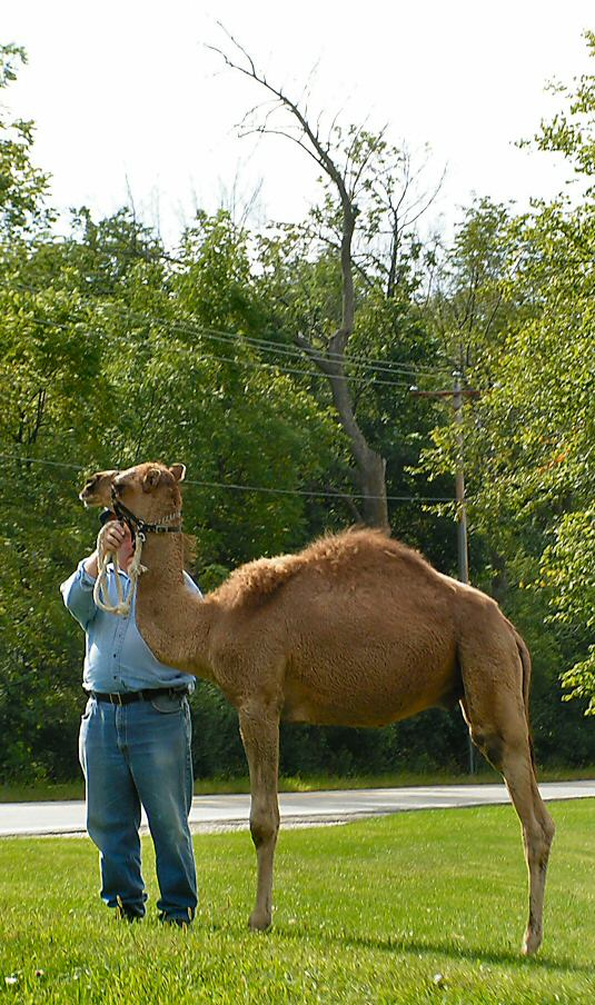 A camel. And not the cigarettes.