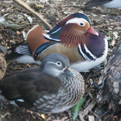 ducksmanda
