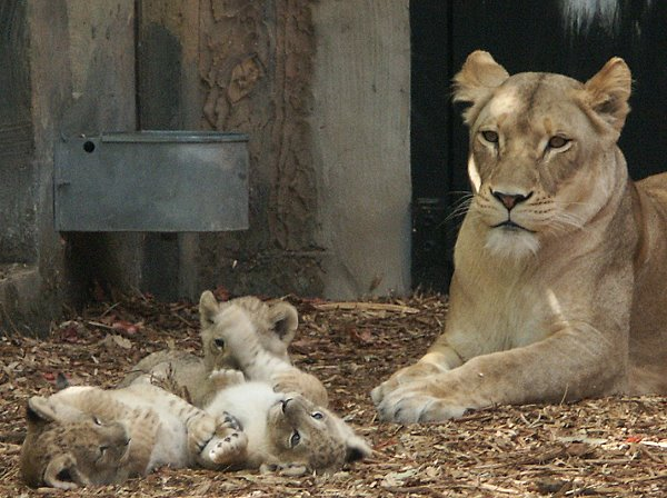 lions97