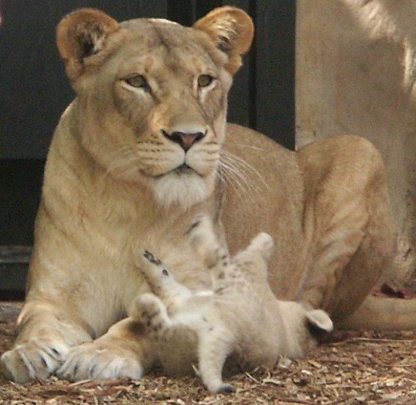 lions98