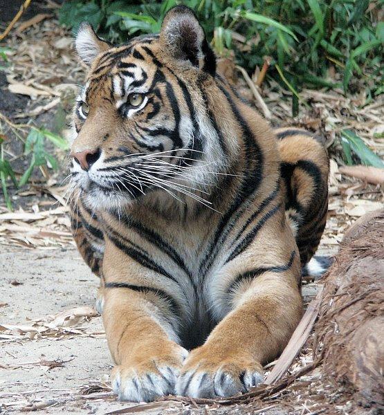 tiger1ab