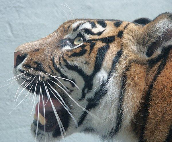 tiger2ab