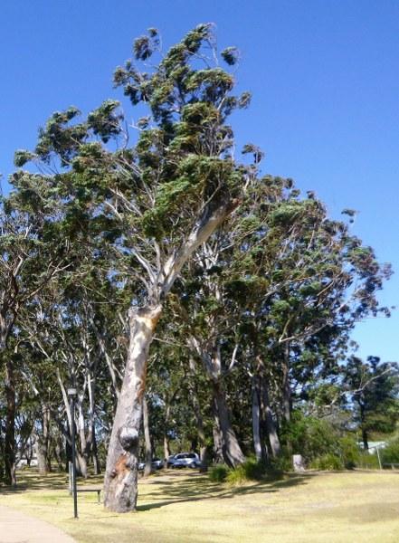 treewind_441x600