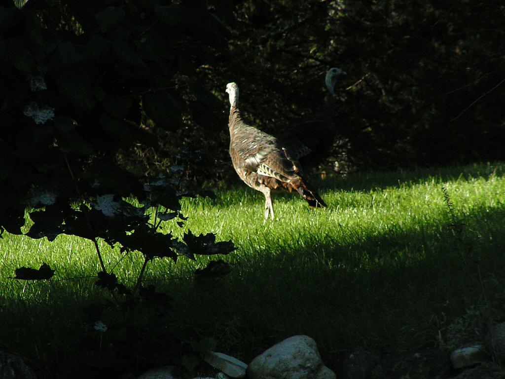 Live Turkeys!